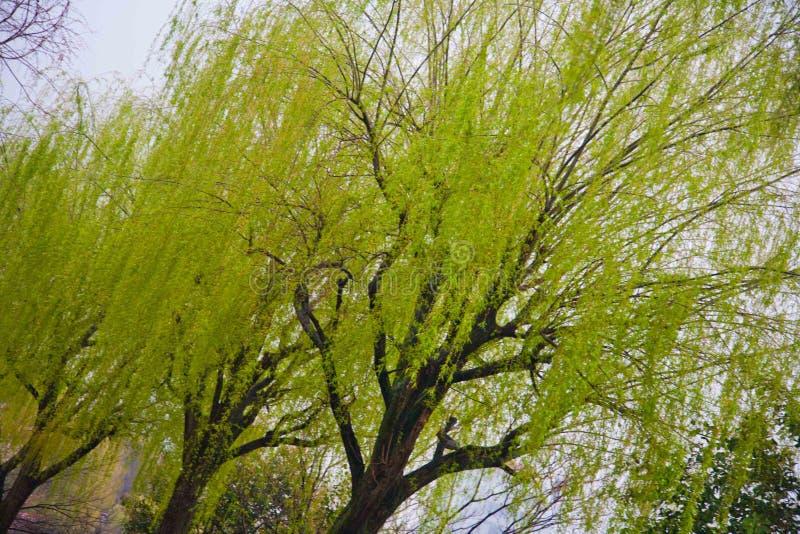 Ueno för träd för Yves ` s zoo Tokyo arkivfoto