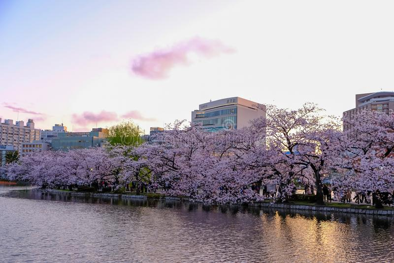 Ueno Sakura Matsuri Cherry Blossom Festival at Ueno ParkUeno Koen,Taito,Tokyo,Japan on April 7,2017:Cherry trees along Shinoba royalty free stock images