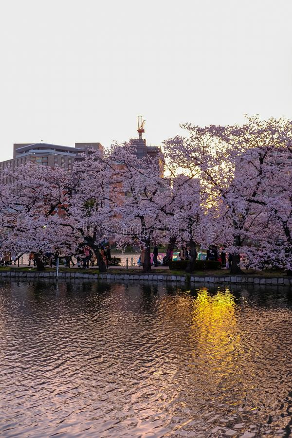 Ueno Sakura Matsuri Cherry Blossom Festival at Ueno ParkUeno Koen,Taito,Tokyo,Japan on April 7,2017:Cherry trees along Shinoba royalty free stock photos