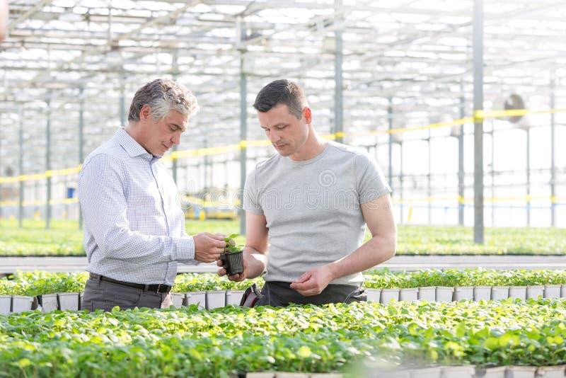 Ufny biznesmen dyskutuje nad zielarską rozsadą z botanikiem w szklarni zdjęcie stock