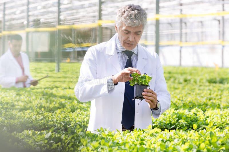 Ufny dojrzały męski naukowiec egzamininuje ziele podczas gdy stojący w rośliny pepinierze obrazy royalty free