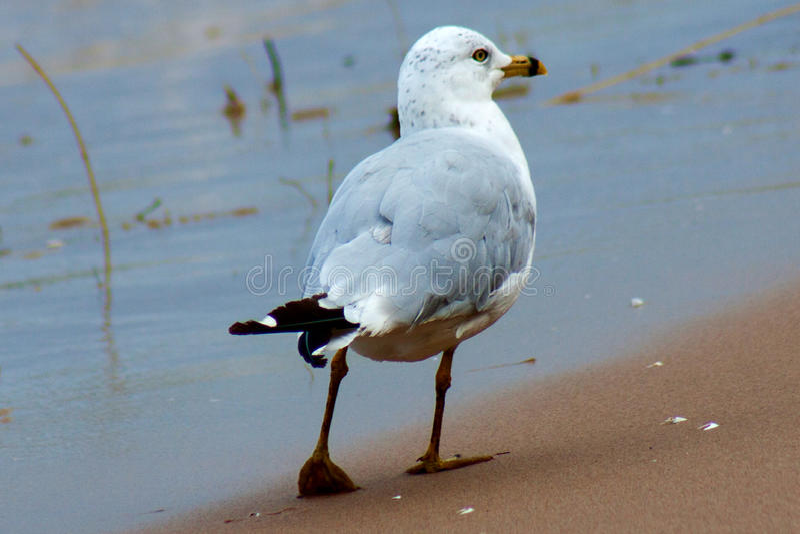 Ufny Seagull obrazy royalty free