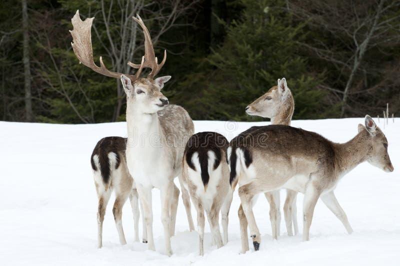 ugór jelenia rodzina zdjęcie stock
