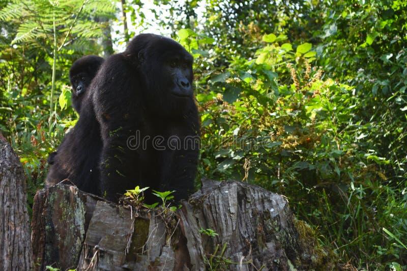 Uganda gorillor royaltyfria foton