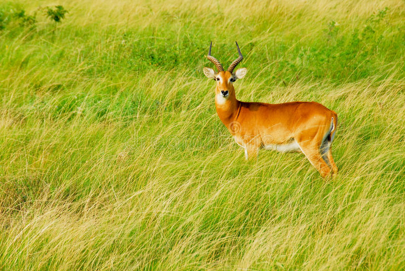 Uganda Kob, parque nacional de la reina Elizabeth, Uganda imagen de archivo