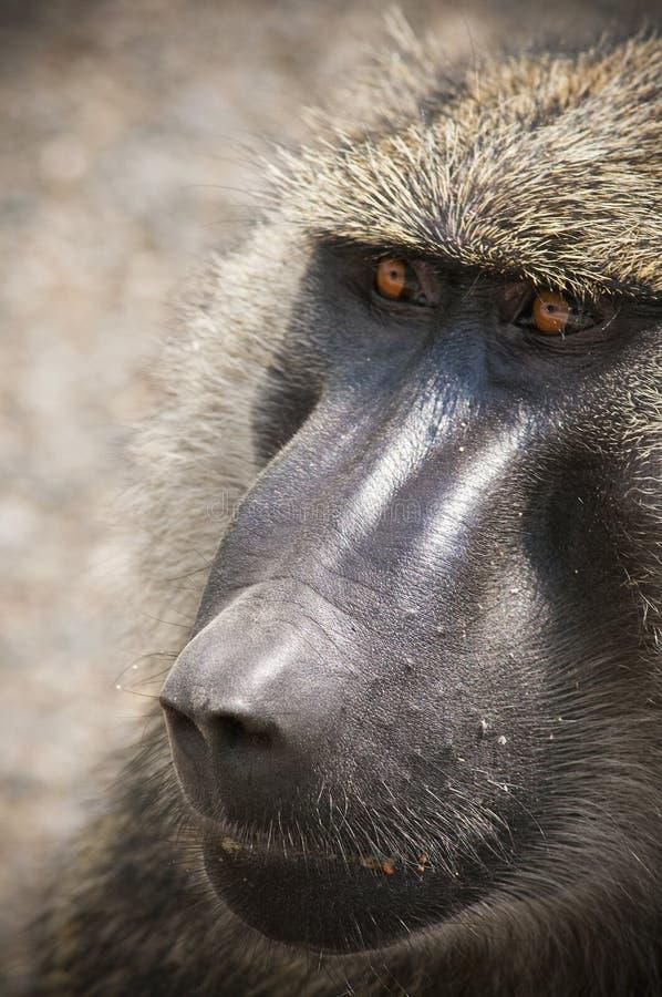 Download Uganda stock photo. Image of africa, animals, monkey - 39506450