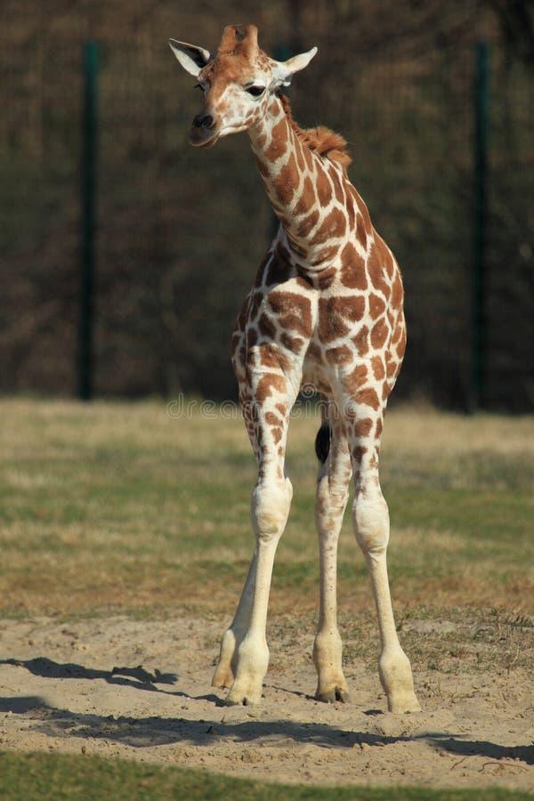 Free Ugandan Giraffe Stock Photos - 24092293
