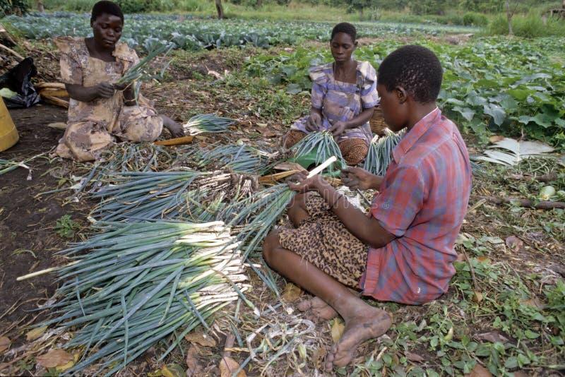 Ugandan vrouwen die in tuinbouw werken royalty-vrije stock fotografie
