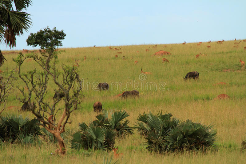 Ugandan Wildlife Grazing on a Hill side stock images