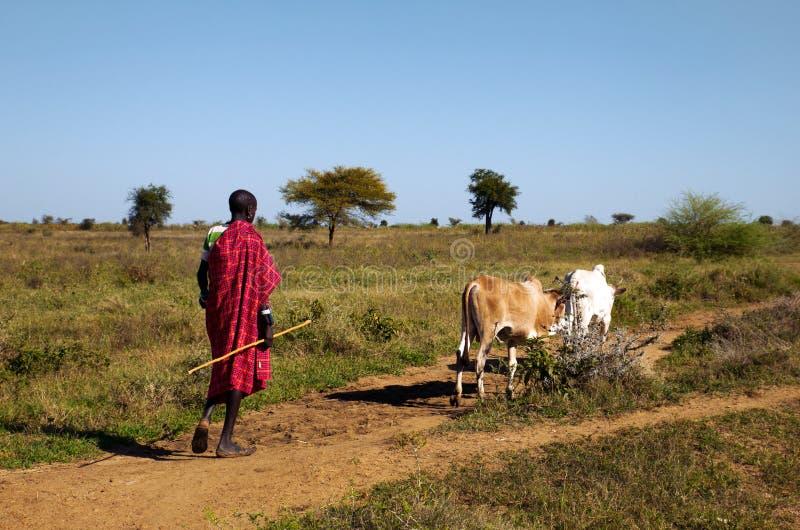 Ugandisk karamojongherde arkivfoton