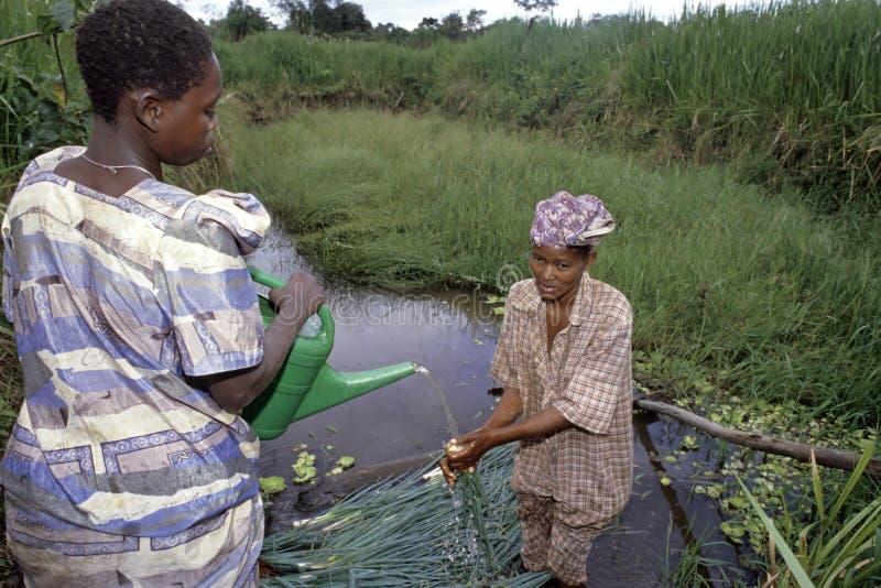 Ugandiska kvinnor som gör ren purjolökar i trädgårdsnäring arkivbild