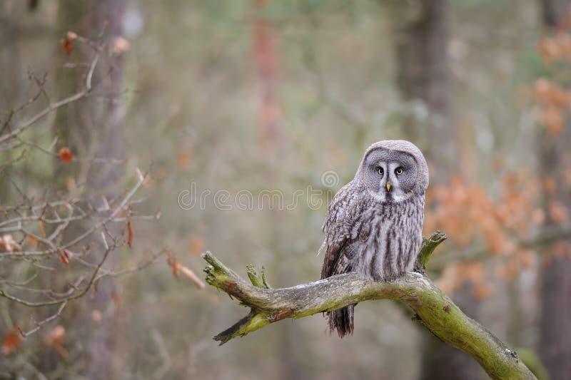 Uggla för stora grå färger på trädfilial arkivfoto