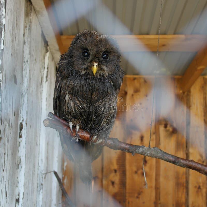 Uggla i en bur på zoo arkivfoton