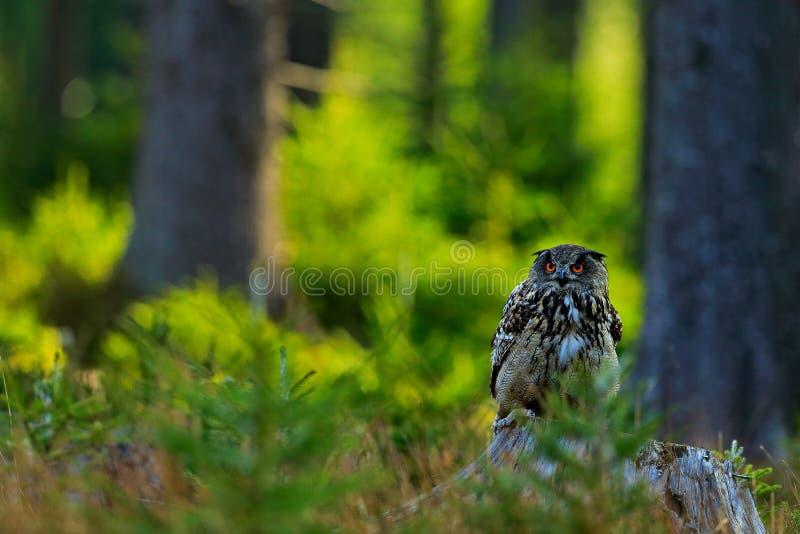 Uggla i skoglivsmiljön som sitter på den gamla trädstammen Eurasian Eagle Owl med stora orange ögon, Tyskland Fågel i höstträ som royaltyfri bild