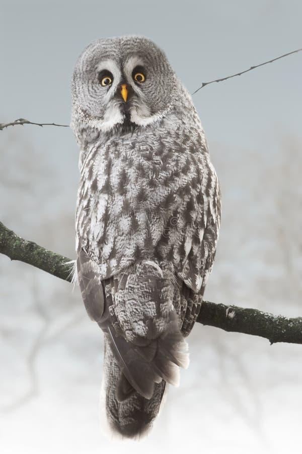 Uggla i snöig skog royaltyfria foton