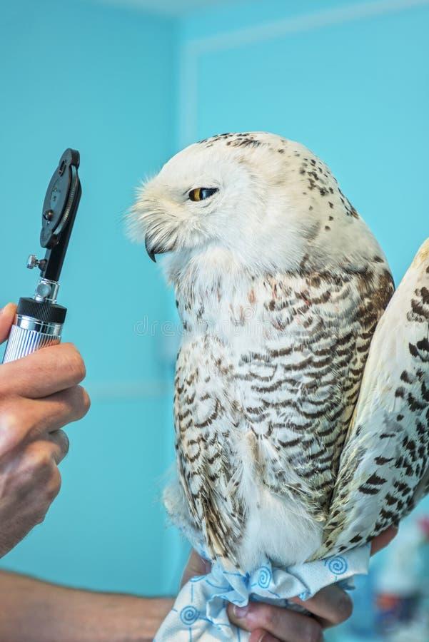 Uggla på veterinären fotografering för bildbyråer