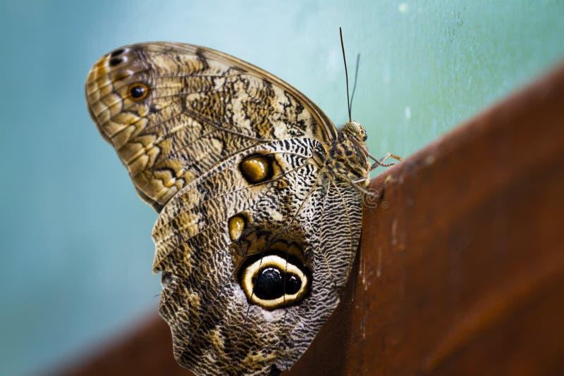 Ugglafjäril - caligomartia fotografering för bildbyråer
