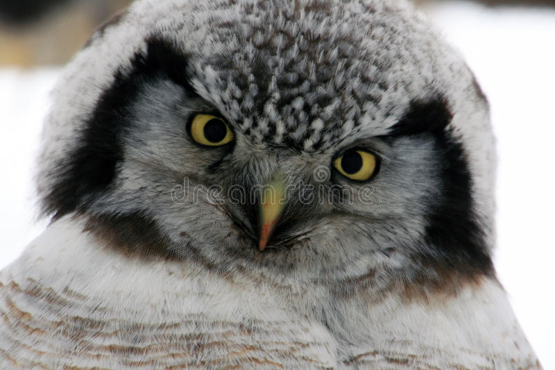 Ugglan vippade på hennes huvud som ser in i kameran, nordliga Hawk Owl (Surniaululaen), fotografering för bildbyråer
