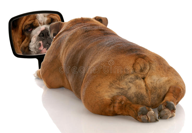 Ugly dog looking in mirror. Beauty is skin deep - english bulldog looking at herself in the mirror royalty free stock image