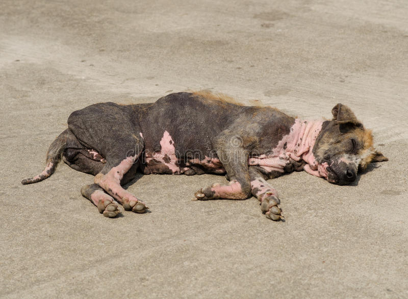 Ugly Dog. Ugly scabby dog lying on the road royalty free stock photography