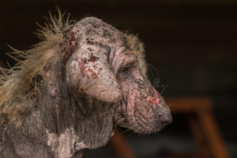 Ugly dog. Ugly stray dog with skin desease,social problem royalty free stock image