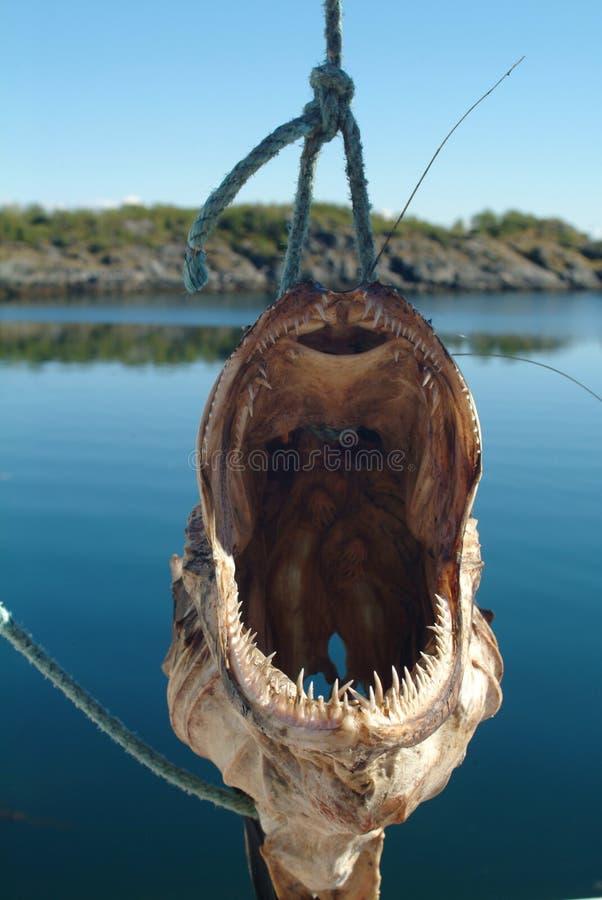 Ugly fish royalty free stock image