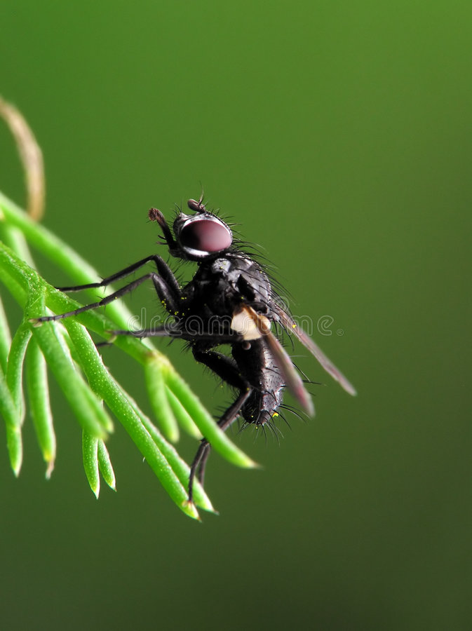 Ugly hairy fly stock photo