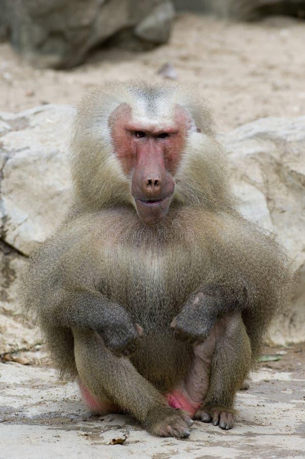 Ugly Monkey Stock Photography