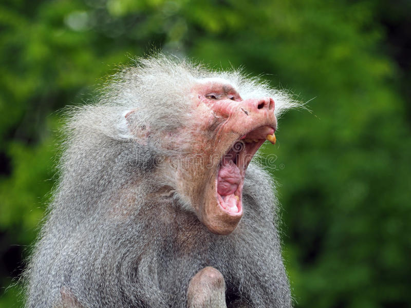 An ugly old baboon. Porrtait of an ugly old baboon royalty free stock images