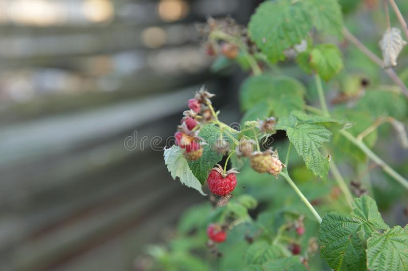 Ugly organic red and green raspberry berries growing on a branch of a bush in the garden, agricultural background. royalty free stock images