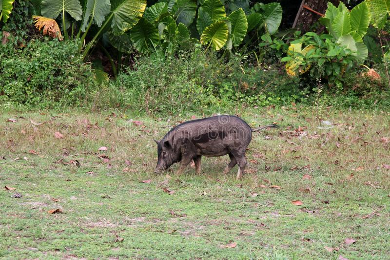 Pig in natural meadow. Wild animal in Thailand. stock image