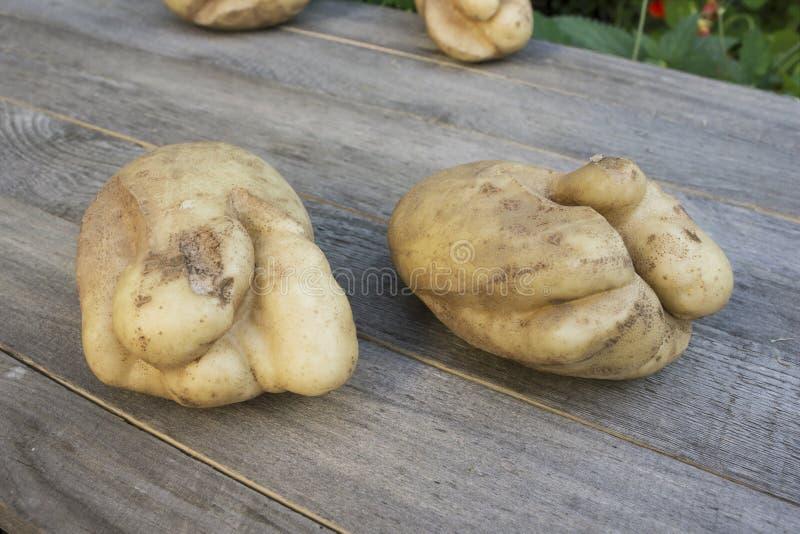 Ugly potatoes. Cracks due to adverse summer season. Two ugly potatoes. Cracks due to adverse summer season stock photography