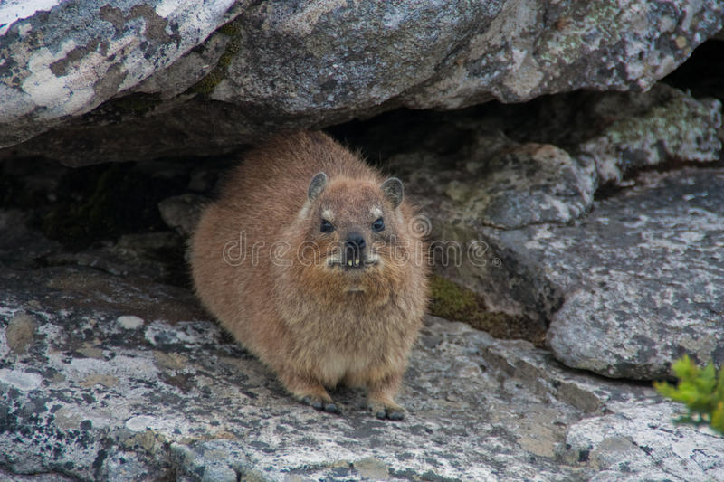 Ugly Rock Dassie. An ungly roch dassie on Table Mountain royalty free stock photo