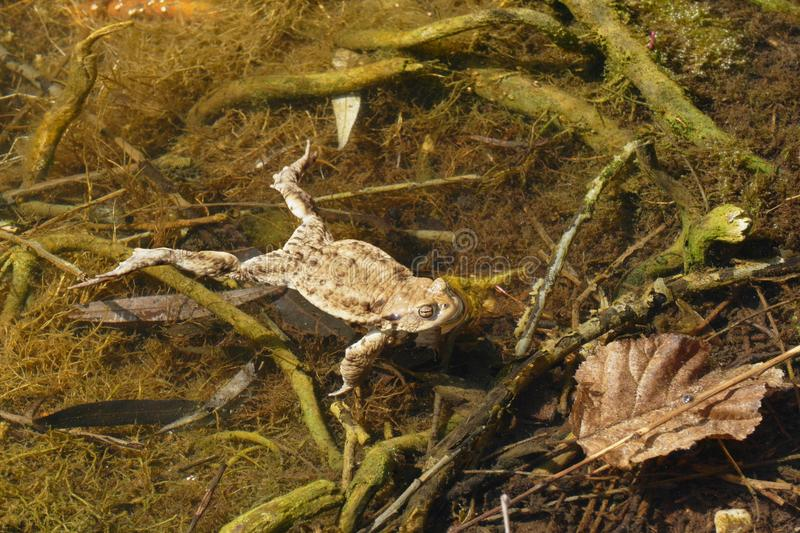 Ugly toad stock photography