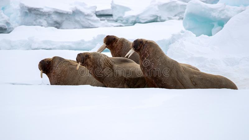 An ugly of walruses on the fast ice around Svalbard. A Norwegian archipelago between mainland Norway and the North Pole stock images