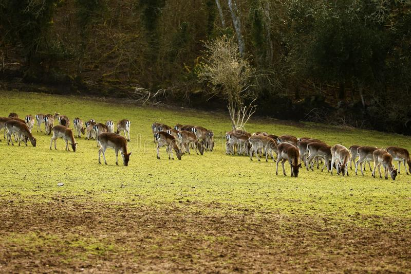 Ugorów parkowi rogacze w Bovey kasztelu ziemiach zdjęcie stock