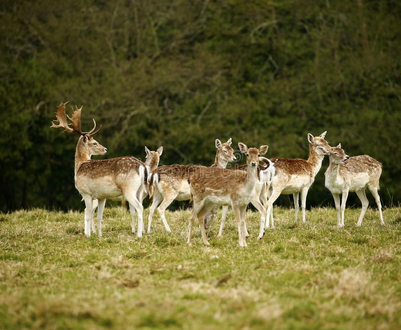 Ugor?w parkowi rogacze w Dartington rogaczy parka ziemiach fotografia royalty free