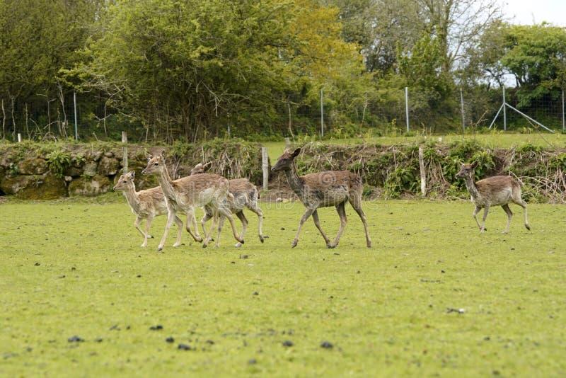 Ugor?w parkowi rogacze w Dartington rogaczy parka ziemiach obrazy stock