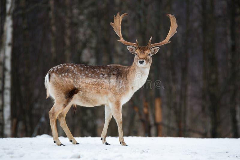 Ugoru rogacza samiec Majestatyczny potężny dorosły ugoru rogacz, Dama dama w zima lesie, Białoruś Przyrody scena od natury, Europ zdjęcie royalty free
