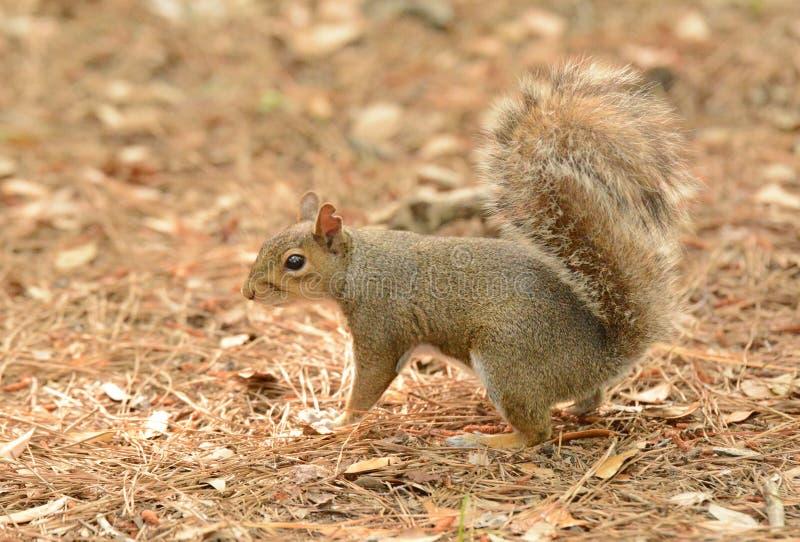 Uh-oh scoiattolo fotografia stock libera da diritti