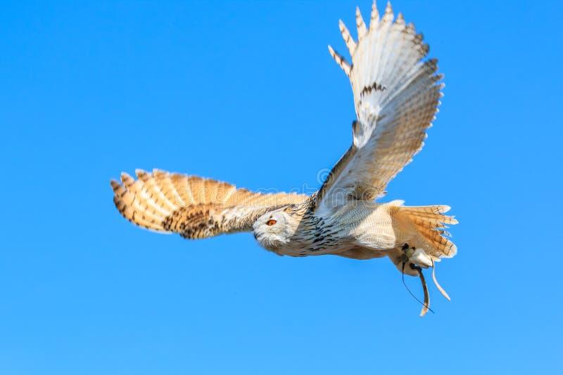 Uhu - Europejski orzeł sowy latanie obrazy stock