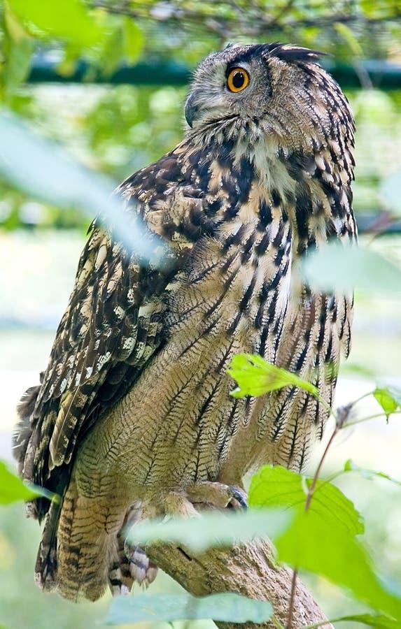 Uil 2 van de adelaar stock foto's