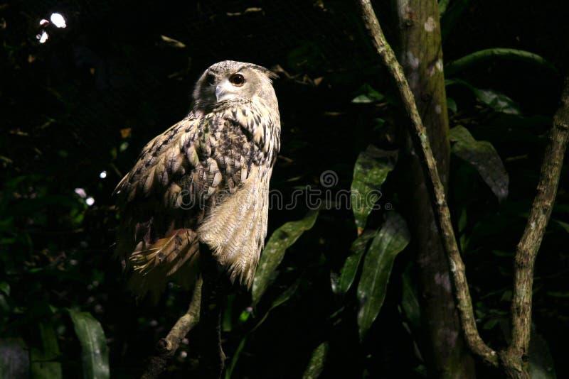Uil - de Safari van de Nacht, Singapore stock foto's