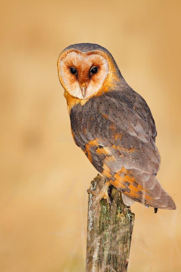 Uil op boomboomstam in weide Schuuruil, Tito alba, aardige vogelzitting op steenomheining, evenig lichte, aardige vage lichtgroen royalty-vrije stock afbeelding