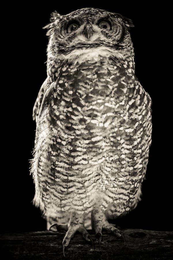 Uil zwart-wit portret stock foto
