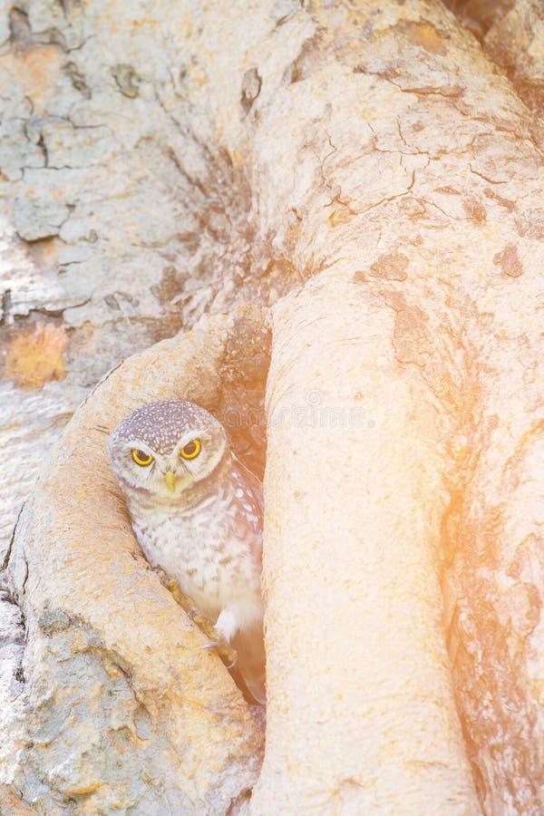 Uiltribune op boomgreep, het wilde leven stock afbeelding