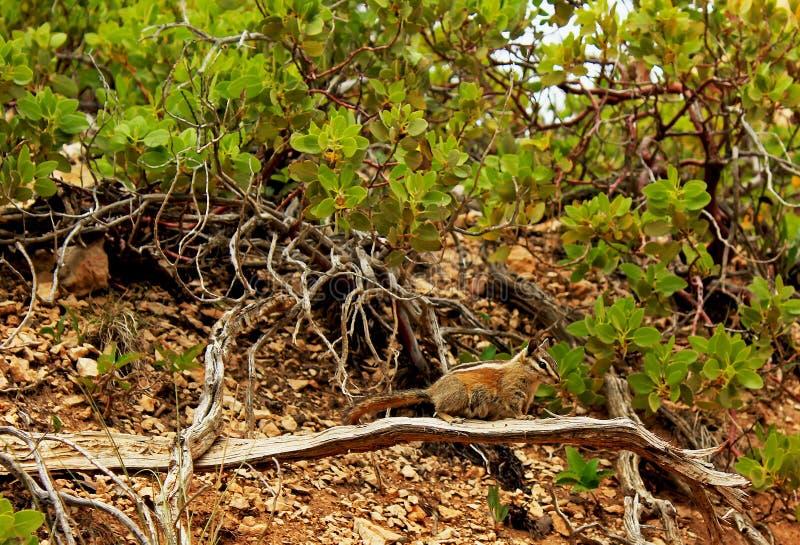 Uinta Chipmunk, Greenleaf Manzanita, Bryce Canyon images libres de droits