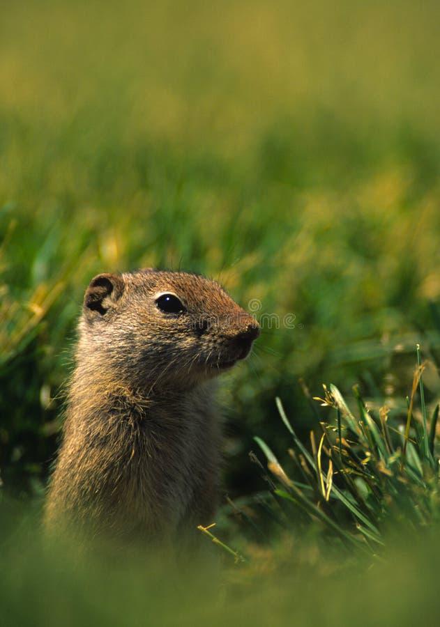 Uinta Grundeichhörnchen Lizenzfreie Stockfotografie
