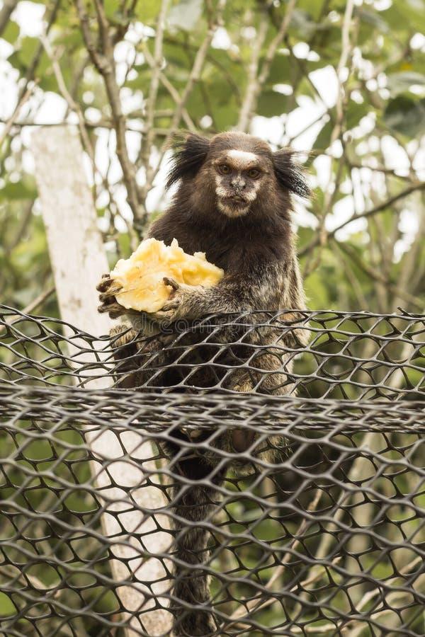 Uistitì divertente che tiene una banana fotografie stock libere da diritti