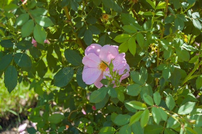 Uit het Devoon Tuin Alberta Rose royalty-vrije stock foto